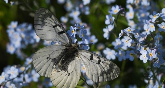 Van Gölü Havzası'ndaki kelebek türleri kayıt altına alınıyor