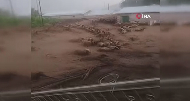 Sel suları koyunları böyle sürükledi