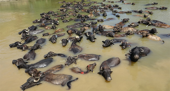 Sıcaktan bunalan mandalar nehirde serinliyor