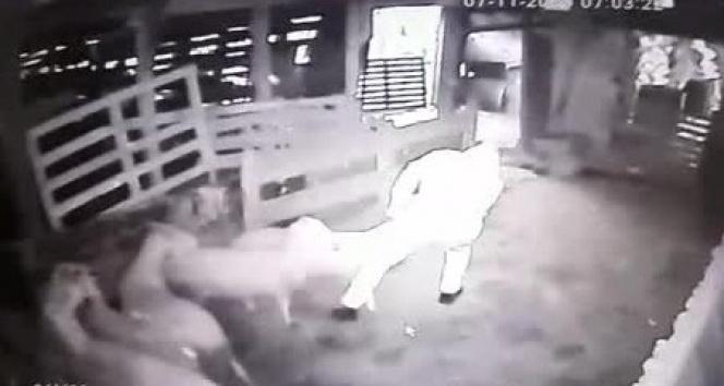 Kurbanlık koçları sürükleye sürükleye çaldılar