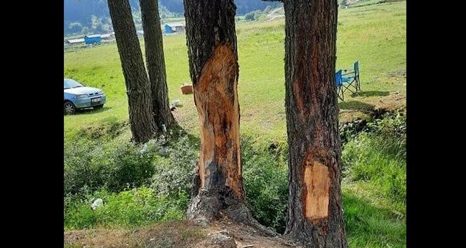 Çam ağaçlarına çıra için zarar verdiler