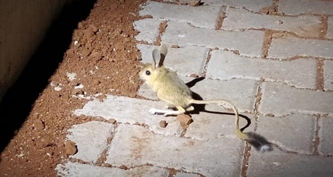 Dünyanın en ilginç hayvanlarından kanguru faresi Adıyaman'da görüldü