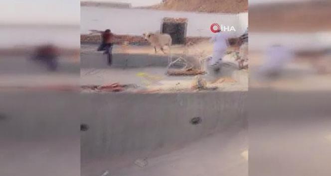Suudi Arabistan'da kurbanlık dana çevredekilere saldırdı