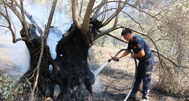 Yangın bitti, geriye acısı kaldı! Asırlık zeytin ağaçları küle döndü