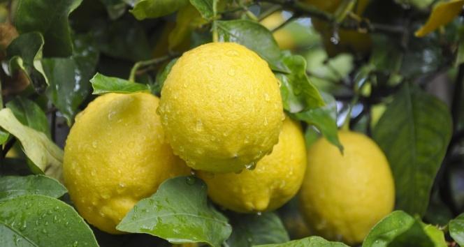 Limon ihracatında ön izin şartının kalkması, ihracatçı ve üreticiyi sevindirdi