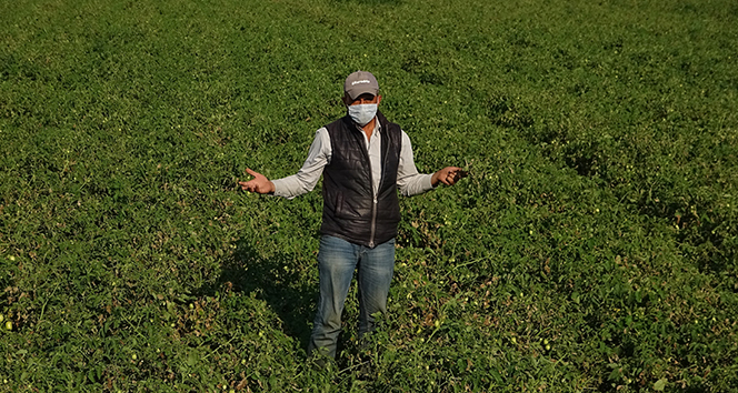 Domates fiyatları tarlada 35 kuruşa düştü, çiftçi iflas noktasına geldi
