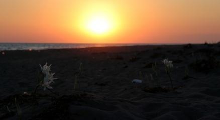 Sahilin süsü kum zambaklarını koparmanın cezası 73 bin lira
