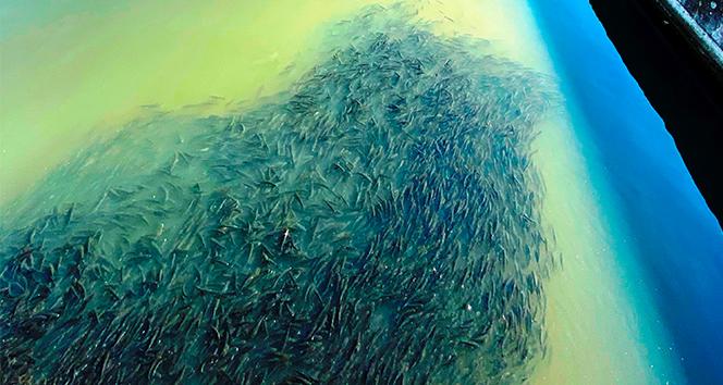 Çanakkale'den binlerce kefal sürüsü merak uyandırdı
