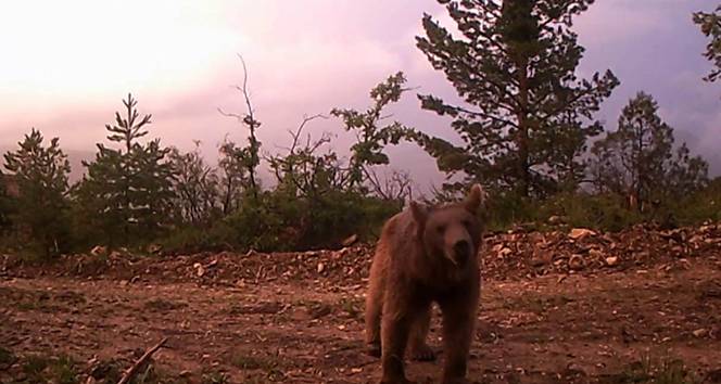 Ormana yerleştirilen fotokapana belgesellik görüntüler yakalandı