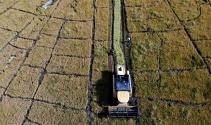 150 gün suyun içinde yetişen pirinçte hasat zamanı
