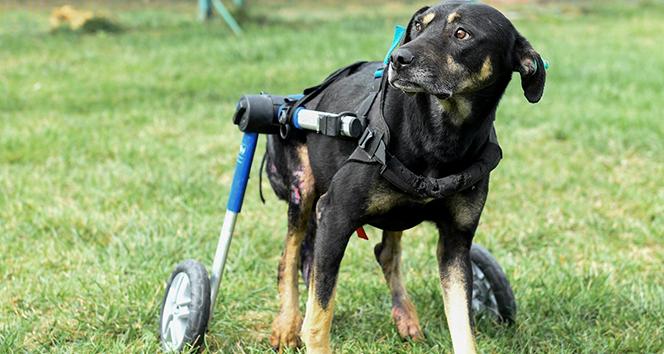 Umut isimli köpek özel tasarlanan ortopedik yürüteçle hayata tutunuyor