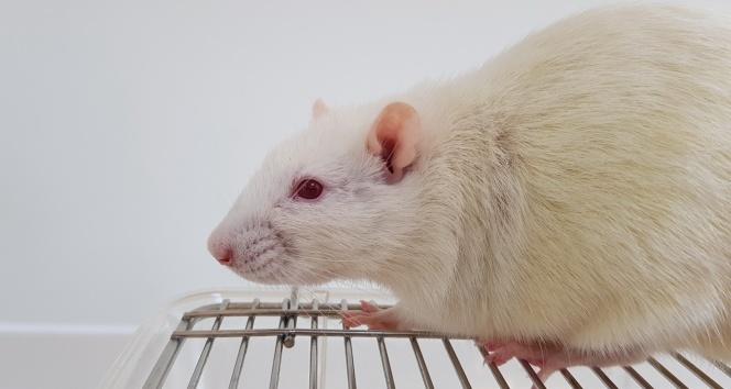 Covid-19 deneylerinde kullanılan bir fare yaklaşık 10 bin TL