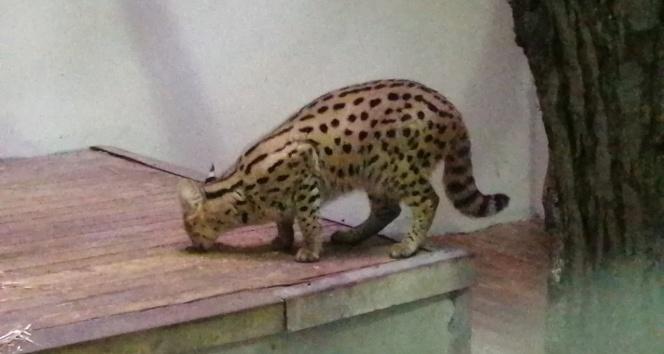 Sakarya'da yakalanan Afrika vahşi kedisi Kocaeli'de karantinaya alındı
