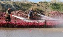 'Kırmızı altında' hasat başladı