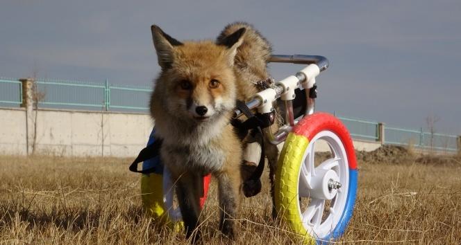 Arka bacakları felçli tilkiye tekerlekli protez takıldı