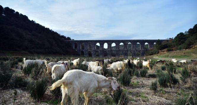 İstanbul'da kuraklık nedeniyle balıkların yüzdüğü baraj, koyunlara kaldı