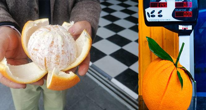 Manavgat'ta tanesi 1 kilogramı geçen portakallar görenleri şaşkına çeviriyor