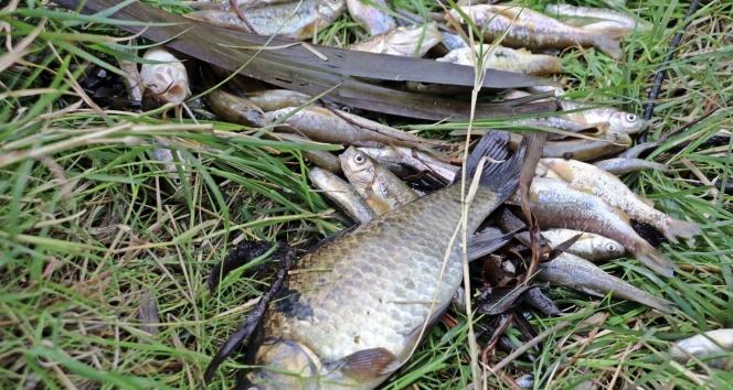 Binlerce balık telef oldu, martılar ölü balıklara üşüştü