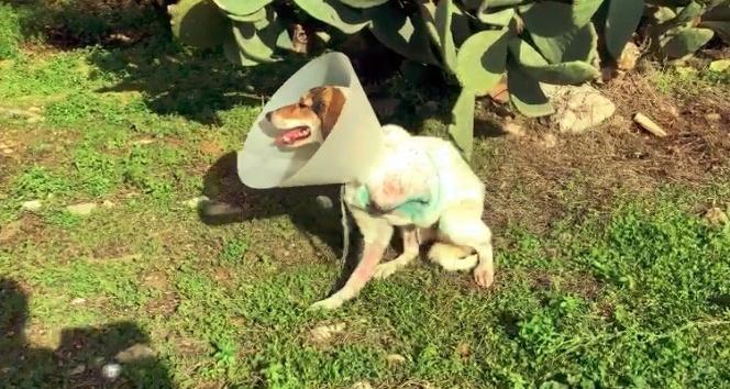 Ayağı ampute edilen köpeği iyileşmeden sokağa terk ettiler