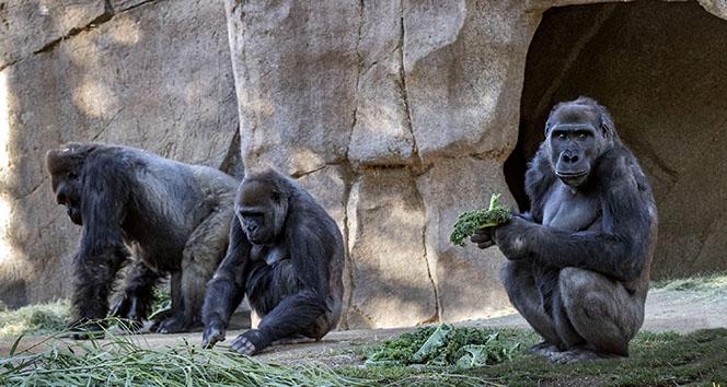 Prag hayvanat bahçesindeki goril ile 2 aslan korona virüse yakalandı