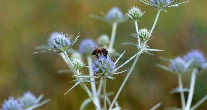 Arılar çiçeklerle buluştu! Zorlu mesai başladı