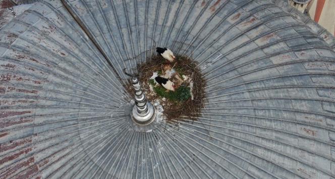 Beykoz'da leylekler 6 yıldır aynı caminin kubbesine yuva yapıyor