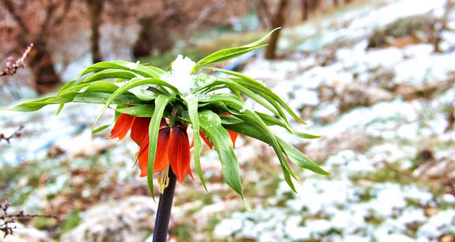 Kar ile buluşan ters laleler kartpostallık görüntüler oluşturdu