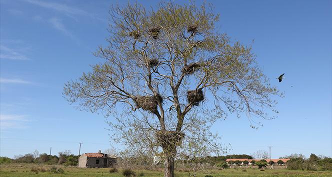 15 yıl önce bir çift olarak gelen kara leyleklerin sayısı 12'ye çıktı