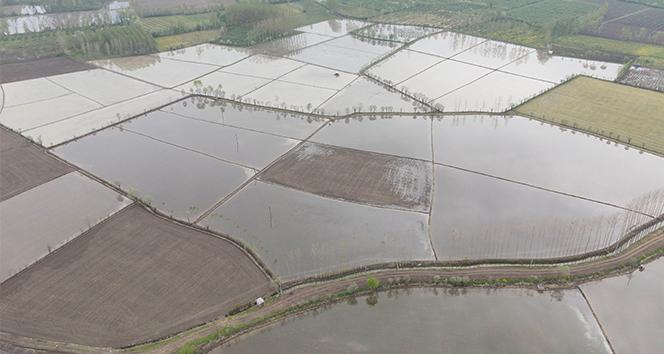 Meşhur Terme pirincinin ekim çalışmalarına başlandı