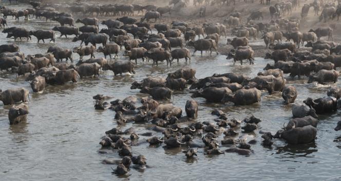 Afrika belgesellerini aratmayan görüntüler! Mandaların eve dönüşü antilop göçünü anımsattı