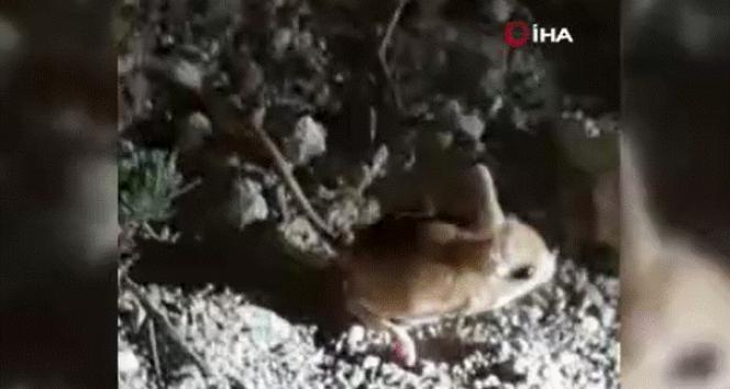 Iğdır'da kanguru faresi görüntülendi