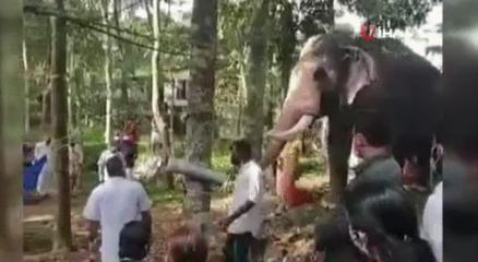 Hindistanda bir fil, ölen bakıcısını son kez görmek için kilometrelerce yol yürüdü