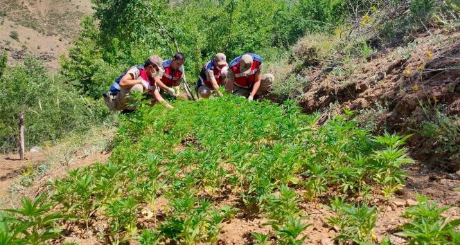 Elazığ'da uyuşturucu tarlasına operasyon, 6 bin kök kenevir ele geçirildi