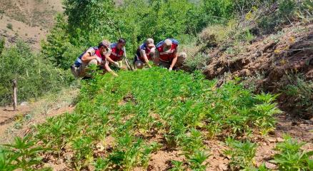 Elazığda uyuşturucu tarlasına operasyon, 6 bin kök kenevir ele geçirildi