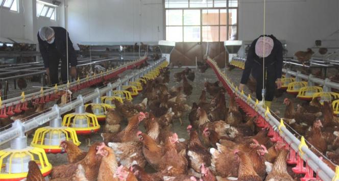 Lise bahçesine kurulan profesyonel tavuk kümesi üretime katkı sağlıyor