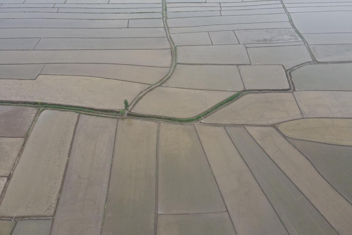 Çeltik tarlalarının sofraya uzanan yolculuğu başladı