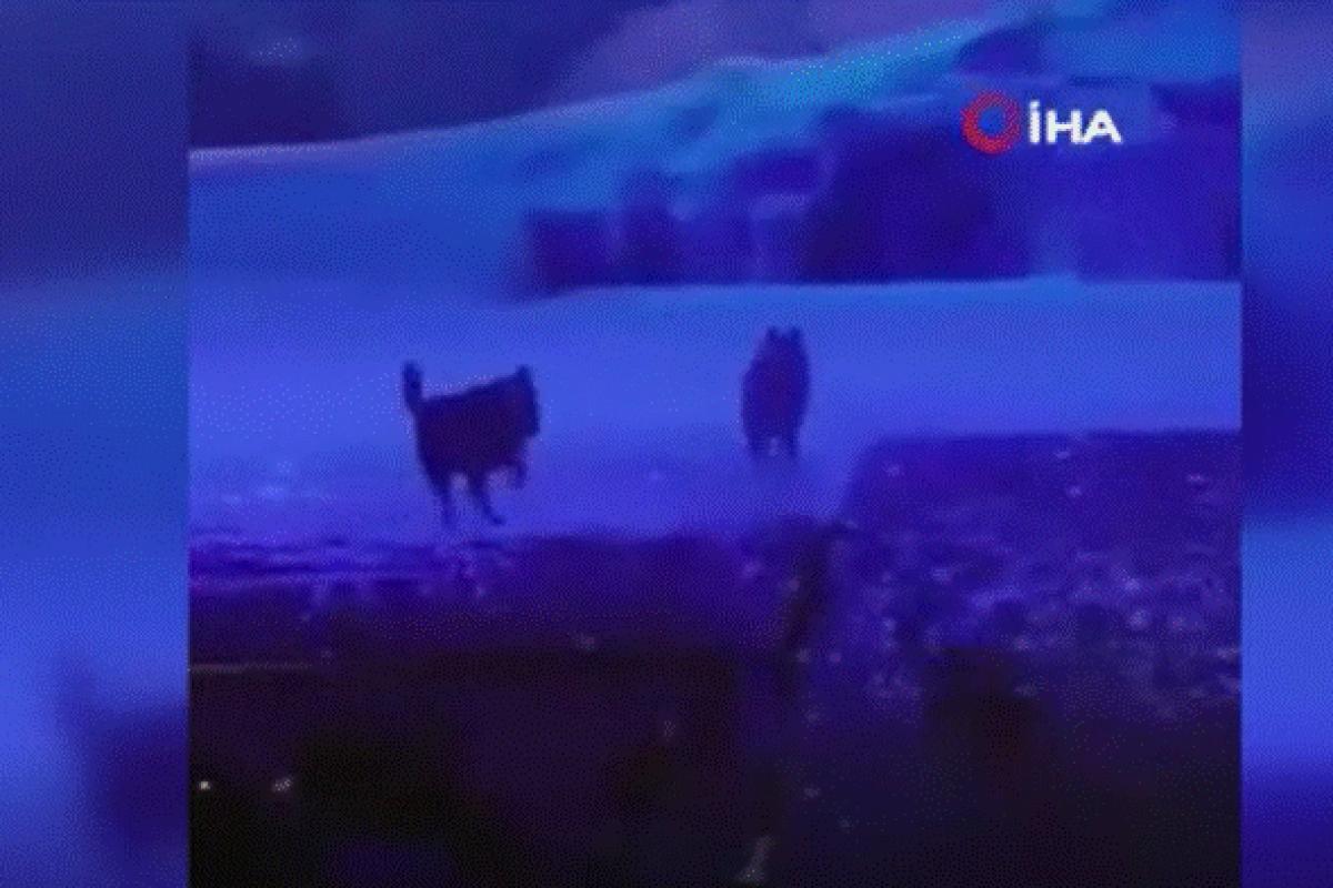 Çin'de gerçek kurtlar ile tiyatro gösterisi tepkiye neden oldu