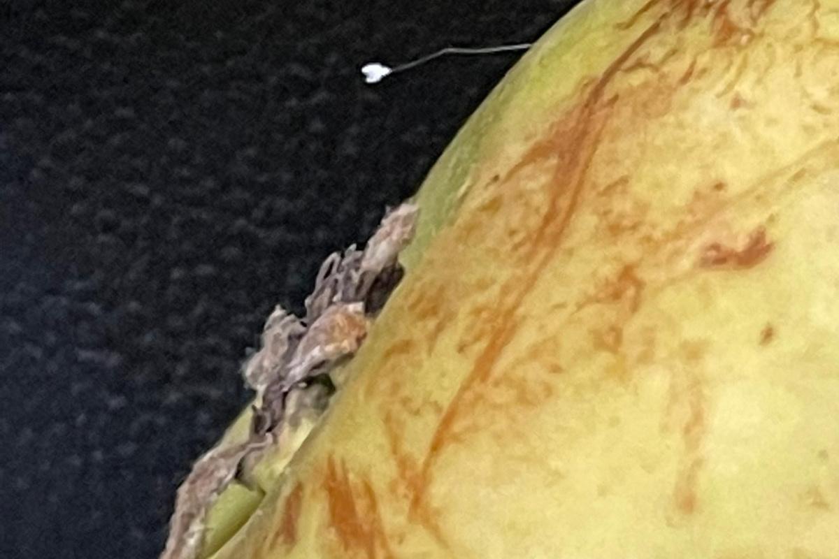Denizli'de nadir rastlanan Udumbara çiçeği görüldü