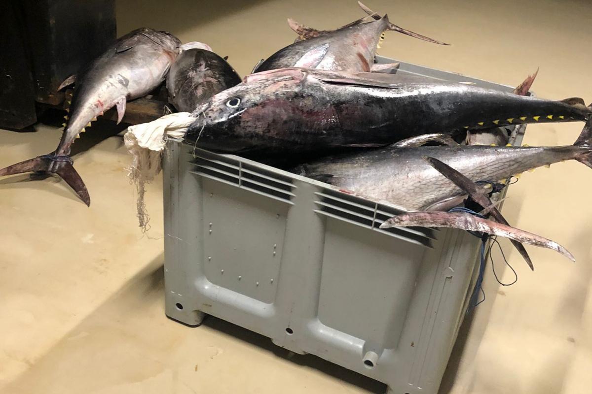 Beylikdüzü'nde yasak dönemde avlanan bin 600 kilo orkinos balığına el konuldu