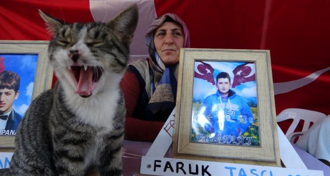 Evlat nöbetinin devam ettiği çadırın kedisi aileleri eylemlerinde yalnız bırakmıyor
