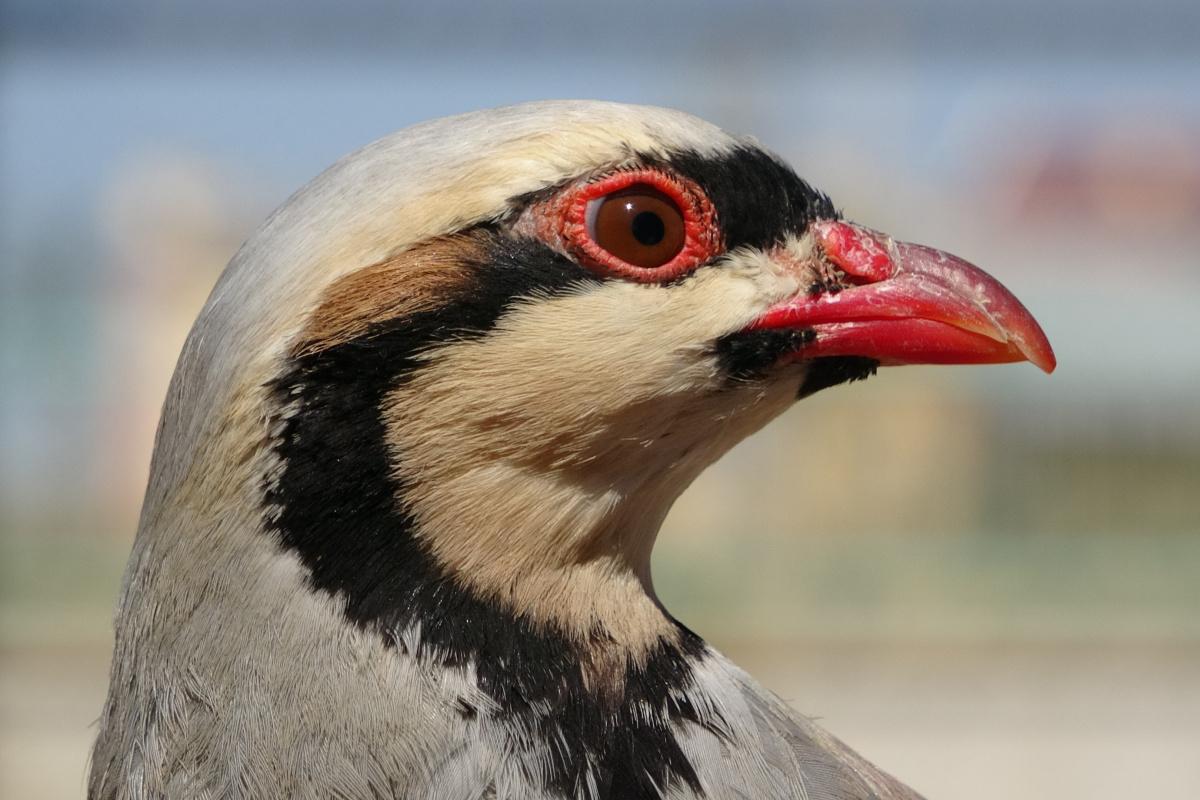 Av yasağında alınan önlemler kekliklerin popülasyonunu arttırdı