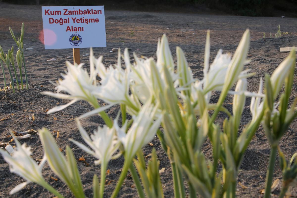 Kum zambaklarına şeritli ve levhalı koruma