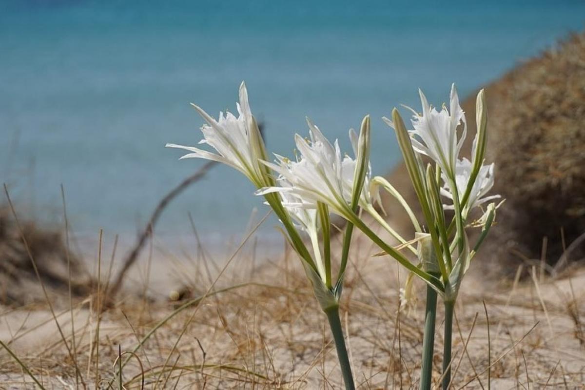 Çeşme'deki kum zambakları çiçek açtı: Koparmanın cezası 80 bin TL