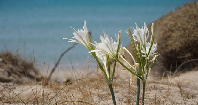 Çeşmedeki kum zambakları çiçek açtı: Koparmanın cezası 80 bin TL