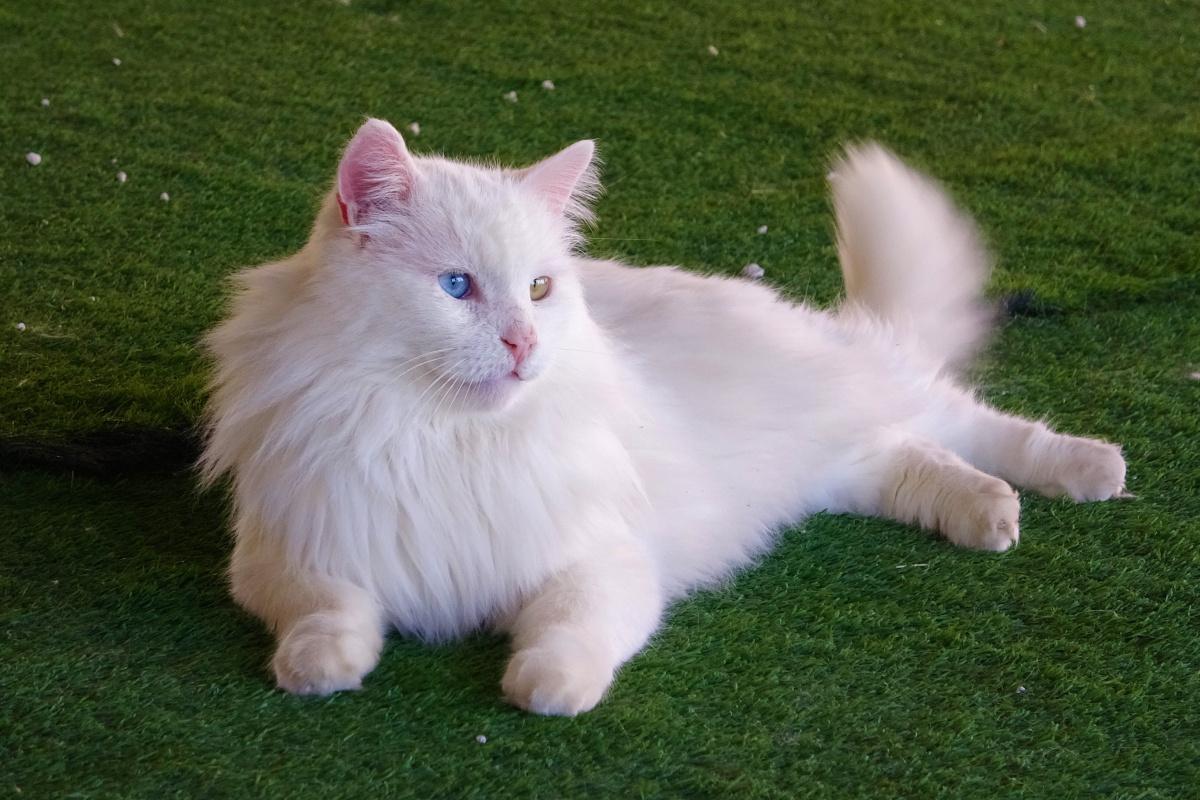 En yaşlı Van kedisi 'Paşa' 14 yaşına girdi
