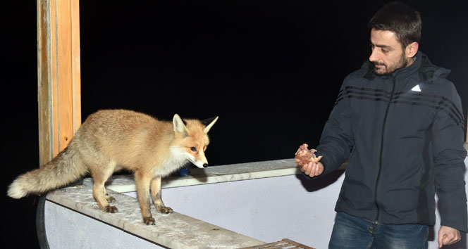 Tilkiden dost olurmuş